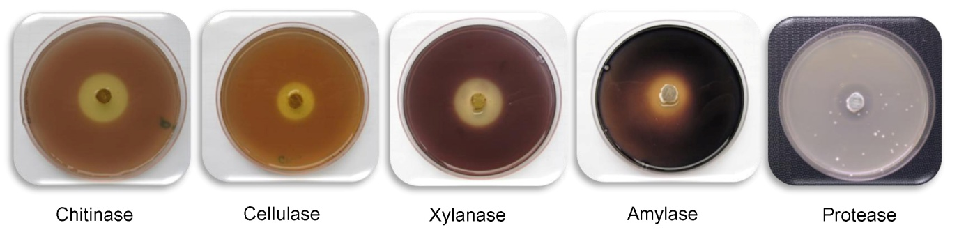Assay for the detection of diverse enzymatic activities on agar plates